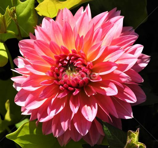 Pink Dwarf Dahlia Single Flower Flowers Pixoto