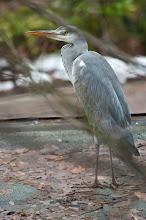 Photo: Grey Heron (Graureiher); Sülldorf, DE
