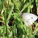Large White