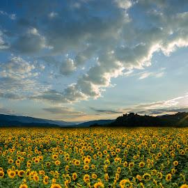 sunflower field by Tomaž Lipovec - Landscapes Sunsets & Sunrises ( field, nature, cloud, sunrise, sunflower field, flowers )