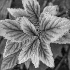 Black and white plant by Mark Lawrence - Black & White Flowers & Plants ( plant, nature, black and white )