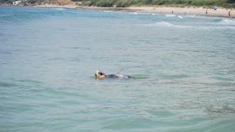 Sparrow, la tortuga boba que visitó la costa almeriense.