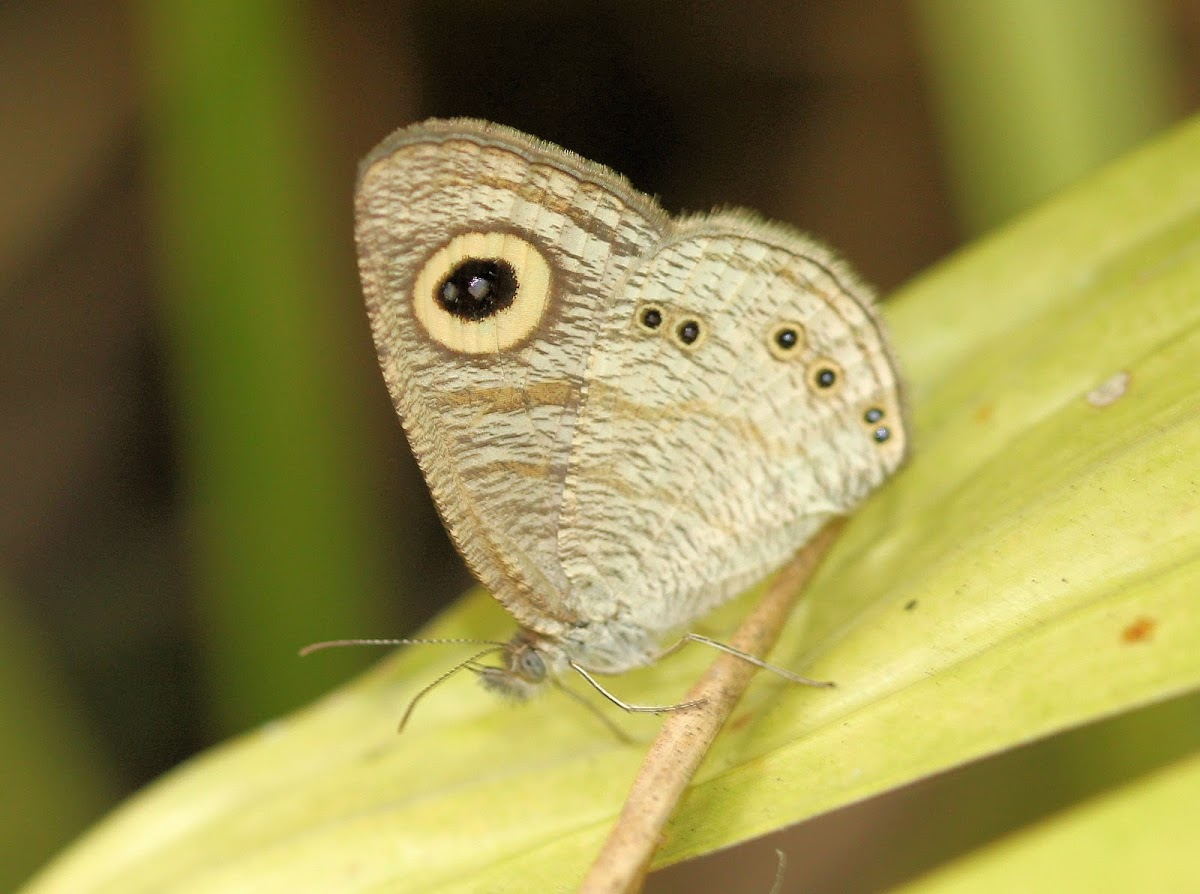 Common 5-Ring Butterfly
