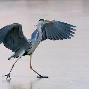 Grey heron slipping by Roberto Melotti - Animals Birds ( roberto melotti, winter, wings, ice, slipping, grey heron, nikon d810, heron, italy )