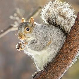 by Kathy Jean - Animals Other Mammals ( squirrel, mammal, grey squirrel, animal, male grey squirrel )