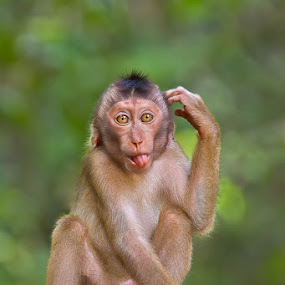 Perplexed by Ashley Vincent - Animals Other Mammals ( nature impressions, macaque, pig tailed macaque, funny, malaysia, ashley vincent, tail, monkey, pig, borneo )