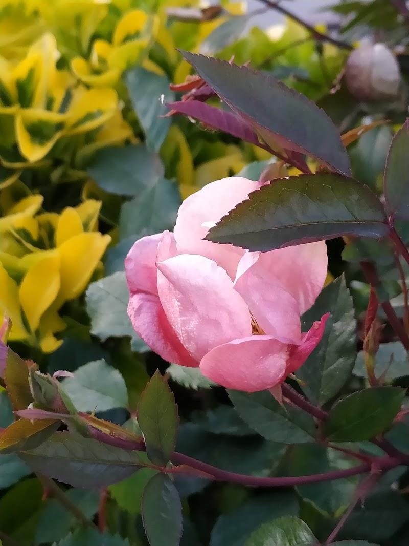 La mia prima  rosa Mutabilis di eleulai