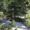 pine Marten