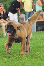 Photo: Élection du meilleur Espoir entre le meilleur Puppy et la Meilleure Jeune : Yuri Zhivago De Penlas Y Espadas