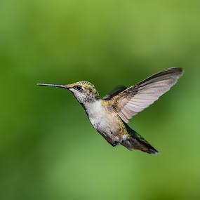 Ruby throated hummingbird by Matt Hollamon - Animals Birds ( green, nikond500, hummingbird, bird, tamron150-600,  )