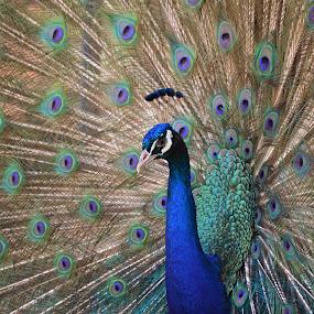 Dancing Peafowl by Arsalan Sandhila - Animals Birds ( nature, dance, birds, peacock, colours )