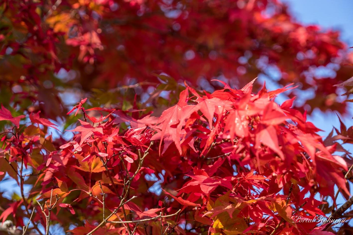 朱色に染まる紅葉