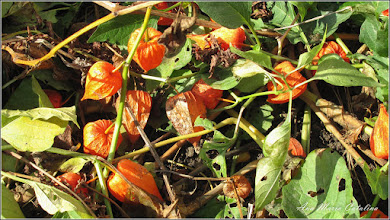 Photo: Păpălăul (Physalis alkekengi) - de pe Str. Salinelor - 2014.10.20