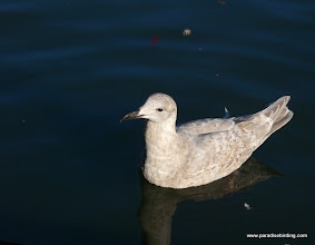 Photo: Young Glaucous-winged Gull