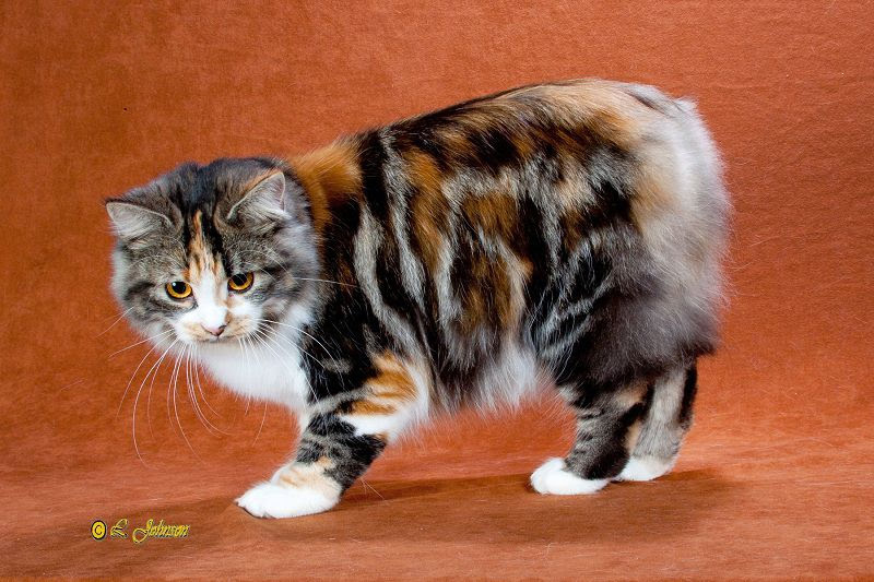 Manx cat price & cost range  Where to find Manx kittens for