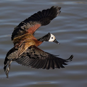 White Faced Whistling Duck by Louis Pretorius - Animals Birds (  )