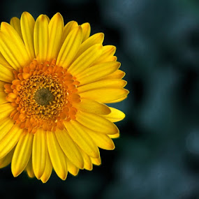 Yellow Gerberra by Abdul Firdausy - Nature Up Close Flowers - 2011-2013 (  )