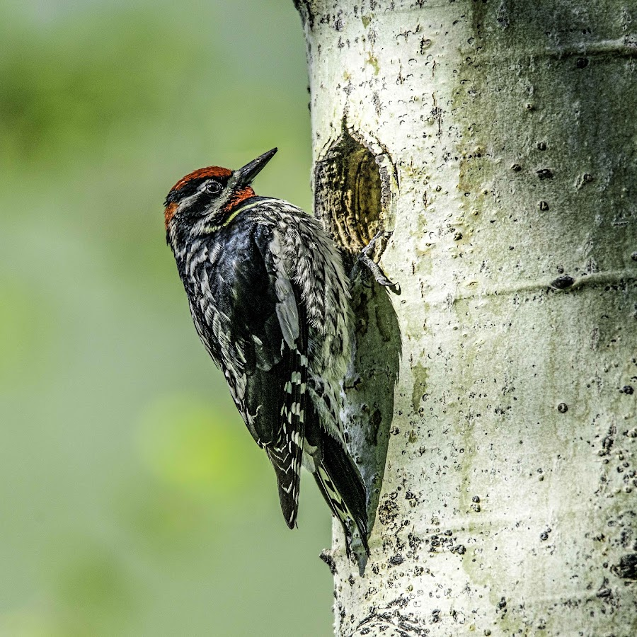 Knock knock by Tomas Rupp - Animals Birds ( nature, bird, animal, woodpecker, wildlife )