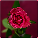 Beautiful Rose HD Wallpapers icon