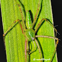 Indian Green lynx spider