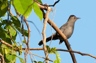 Photo: Grey Catbird (Katzendrossel); Rio Lagartos, YUC