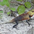Oriental Garden Lizard - Male