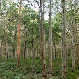 Beautiful Boranup Forest by Clarissa Human - Landscapes Forests ( forests, green leaves, australia, trees, forest,  )