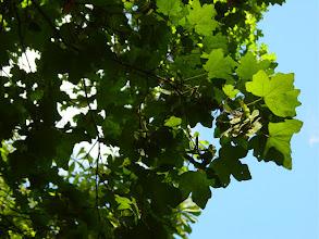 Photo: Hojas y frutos de arce menor o campestre (Acer campestre)