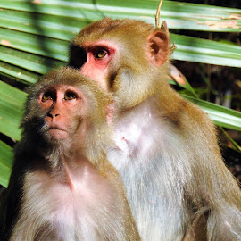 A pair of wild rhesus monkeys along the Silver River by Mary Gallo - Animals Other Mammals ( wild, nature, mannal, forest, silver river, swamp, monkey, animal,  )