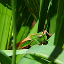 Northern Green-Striped Grasshopper