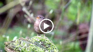 Video: Male Pacific Wren territorial song.