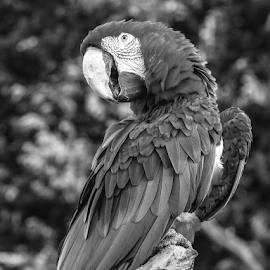 Macaw by Garry Chisholm - Black & White Animals ( nature, bird, macaw, parrot, garry chisholm )