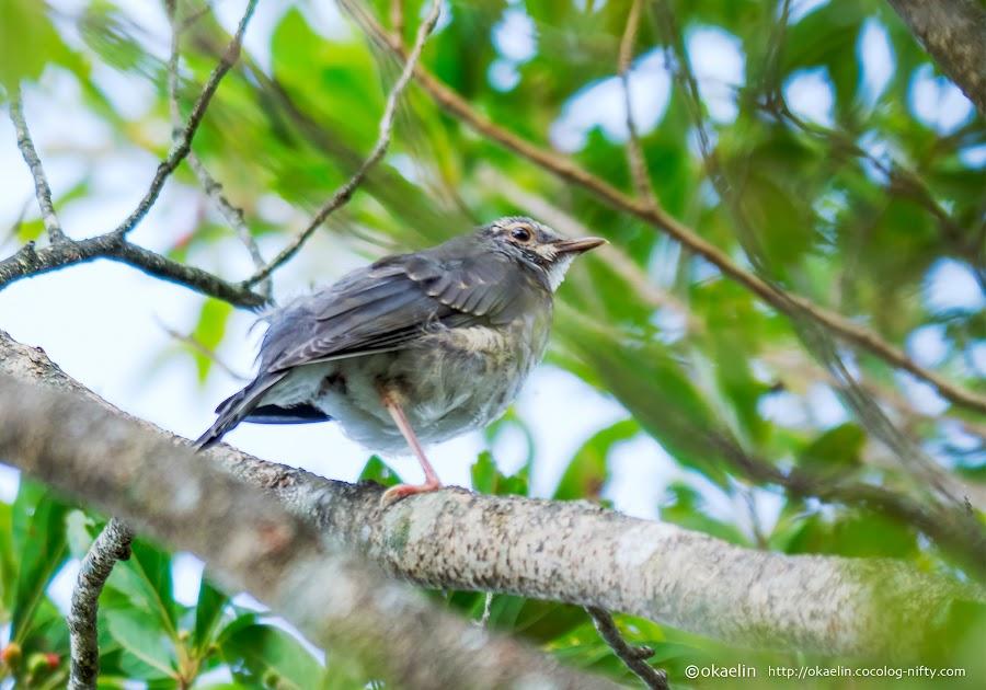 クロツグミ 幼鳥♂