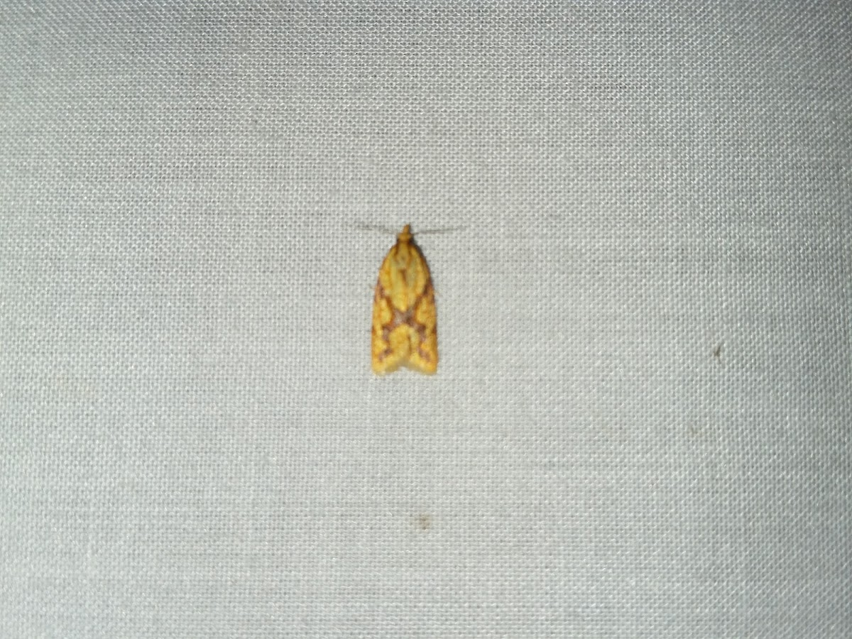 Spargonis Fruitworm Moth