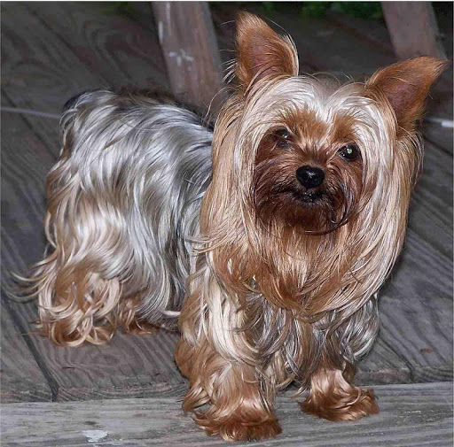 Yorkie Puppy Wallpapers