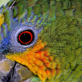 WING THING by Yako Laverde - Animals Birds ( bird, parrot, beauty, portrait, colours,  )