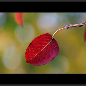 Autumn leaves by Stoyan Baev - Nature Up Close Leaves & Grasses ( autumn, fall, leaf, leaves, close up,  )