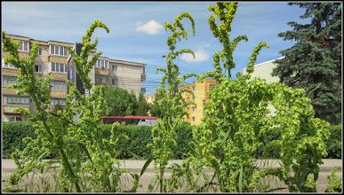 Photo: Știr (Amaranthus retroflexus) - de pe Calea Victoriei, Mr.2 - 2017.05.23