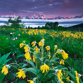 Balsamroots In The Tetons by Jerry Patterson - Landscapes Sunsets & Sunrises ( canon, mountain, wildflower, sunrise, tetons )