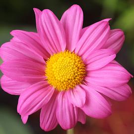 Luscious Pink by Carmen Quesada - Flowers Single Flower ( pink, mum, natural, plant, flower )