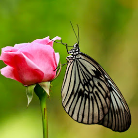 Pink Rose & beautiful butterfly by Chusnul Hidayat - Animals Insects & Spiders