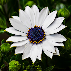 White Daisy by Michael Michael - Flowers Single Flower ( white flower, macro, white daisy', daisy, close up, flower,  )