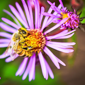 Polling time!! by Anand Kannan - Animals Insects & Spiders ( bee, pwcinsects&spiders, flower, polling )