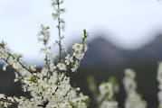 Photo: Ametllers florits a Vilada