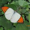 White Orange-tip