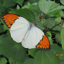 White Orange-tip