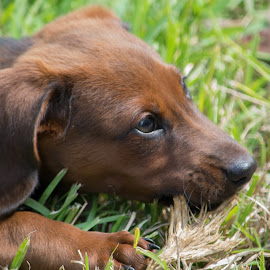 Look at that Face! by Kevin Bittner - Animals - Dogs Puppies ( daschund, rubble, puppy, whimsy, chewing )