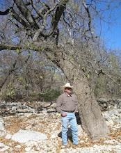 Photo: March winds swept us west, through Central Texas to the only known grove of Mexican white oaks (Quercus polymorpha) in the U.S., including this national champion. We spent a couple hours counting and measuring these oaks, all confined to the banks and stream bottom of this short canyon....