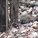 Common Chipmunk