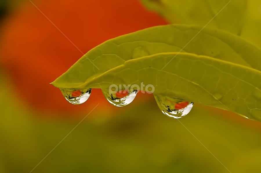 Triplets by Chaithanya Krishnan - Nature Up Close Leaves & Grasses ( water, macro, triplets, chaithanya krishnan, nature, sigma, droplet, drop, nikon, chaithanya, water drop )
